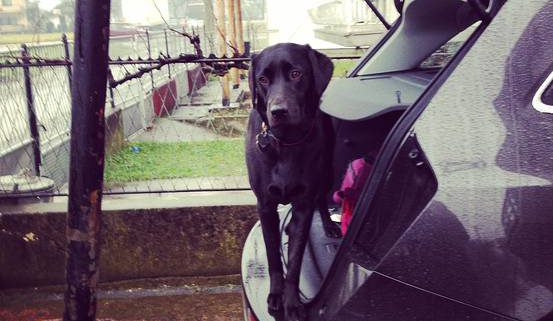 Betsie a black Labrador standing in back of car